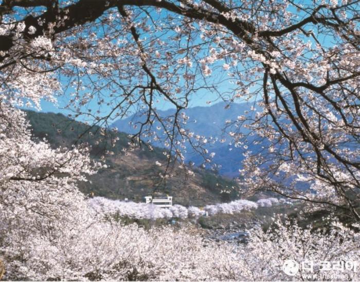 십리벚꽃길 자료사진-1.jpg