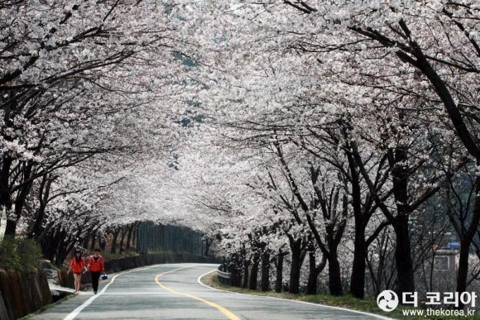 십리벚꽃길 자료사진-3.jpg