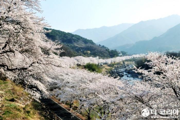십리벚꽃길 자료사진-2.jpg